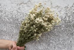 Preserved Botanical: Baby's Breath Yarrow