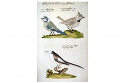 Song Birds Hand-Colored Engraving 1733