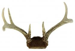 White Tail Deer Antlers, I