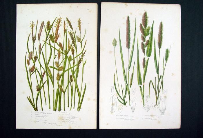 1860 Botanical Grasses Lithographs, Pair