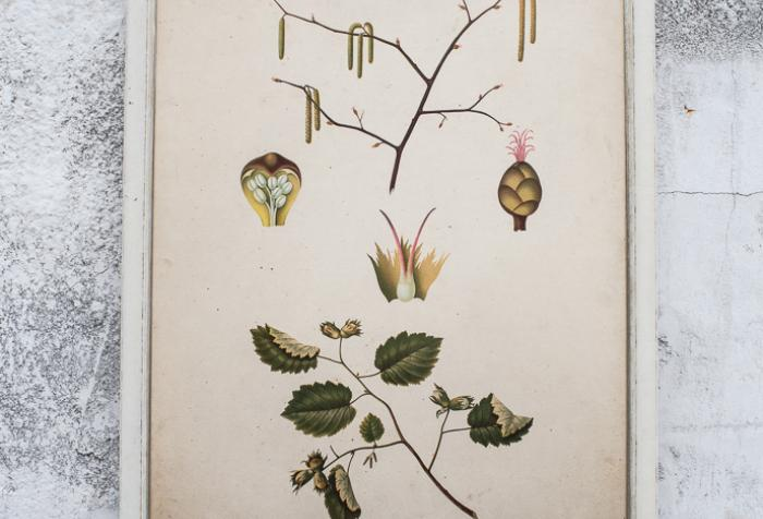 European Antique  Botanical Print in  Wood Frame