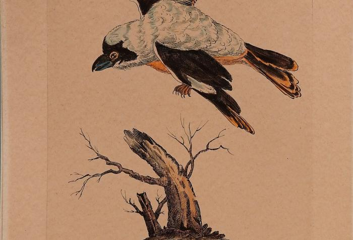 Gray Shrike Hand-Colored Etching
